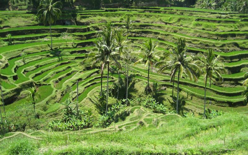 Tegalaland Rice Terrace, Bali, Indonesia