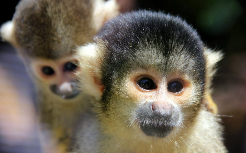 Squirrel Monkey at Wellington Zoo, Wellington, New Zealand