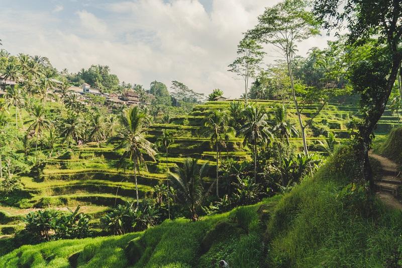 The rice terraces of Ubud, Bali