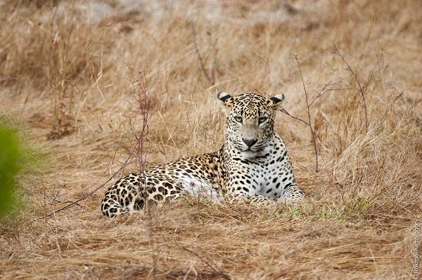 Sri-Lanka-Safari-Leopard-Wilpattu-National-Park