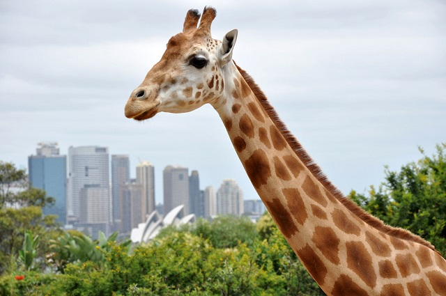 Taronga-Zoo-Giraffe-Opera-House-Free-Things-To-Do-Sydney