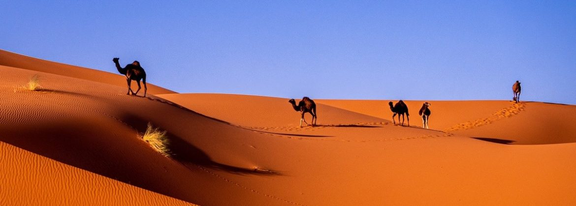 Sahara Camels Morocco Best Webjet Tours Experience