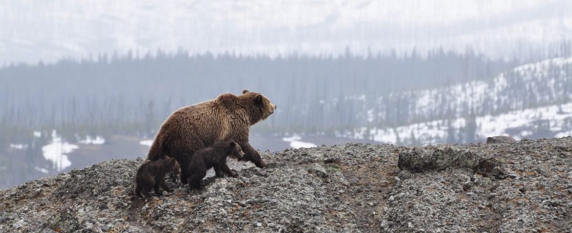 Bear-Family-Yellowstone-National-Park-Wildlife