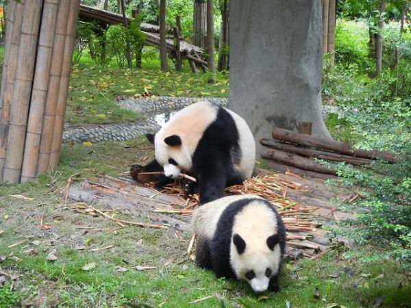 UNESCO-Sichuan-Panda-Sanctuaries-Chengdu